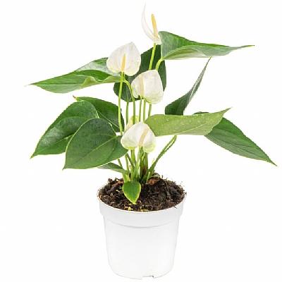 Anthurium Elido - 40 cm