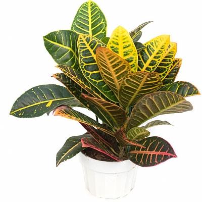 Croton Petra - 30 cm