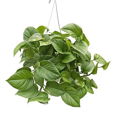 Pothos Green Jade
