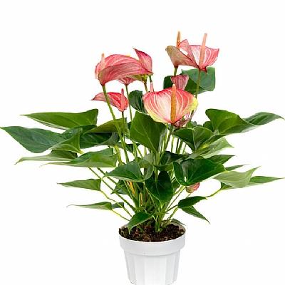 Anthurium Livium - 50 cm
