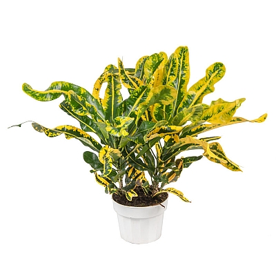 Croton Mamey - 40 CM