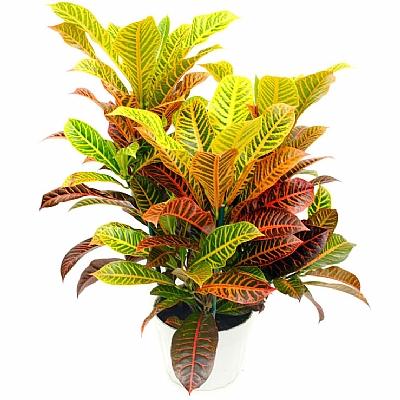 Croton Super California - 60 cm
