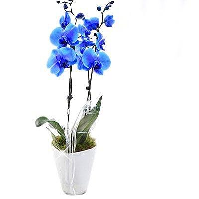 Mavi Orkide
