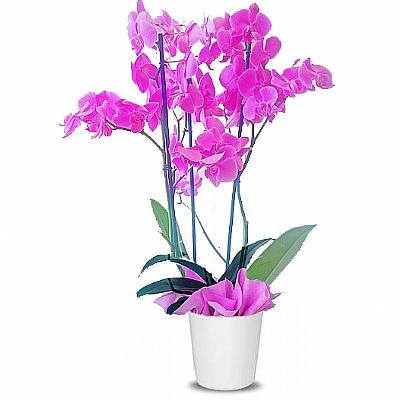 3 Dal Mor Orkide