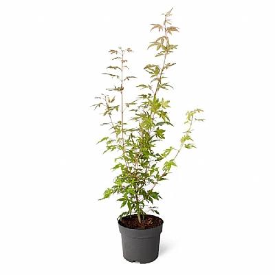 Acer Palmatum 50 cm