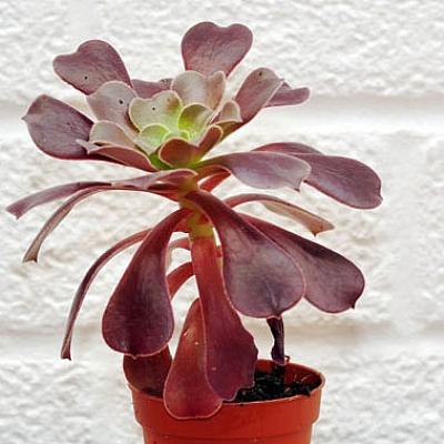 Aeonium arboreum Velour
