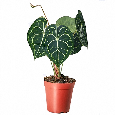 Anthurium Clarinervium 40 cm