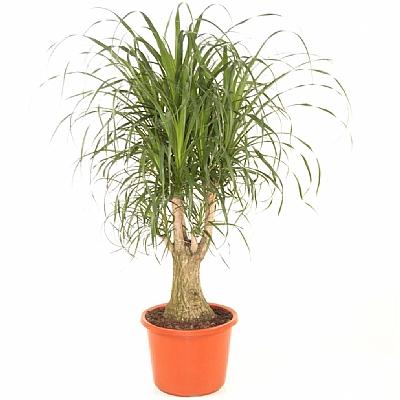 Beaucarnea Recurvata 60 cm