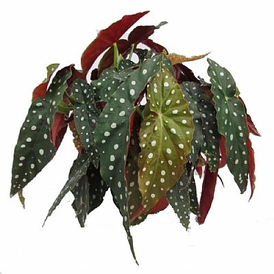 Begonia Maculata - 14 cm Saksı