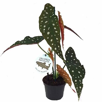 Begonia Maculata - 12 cm Saksı