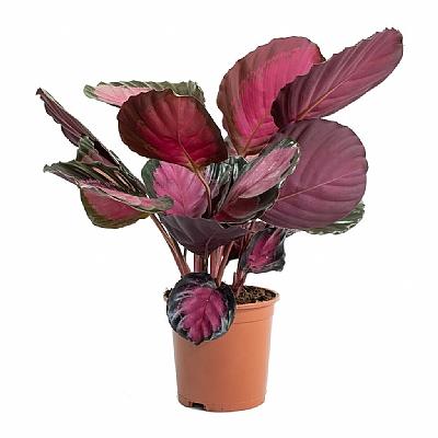 Calathea Roseopicta 25 cm