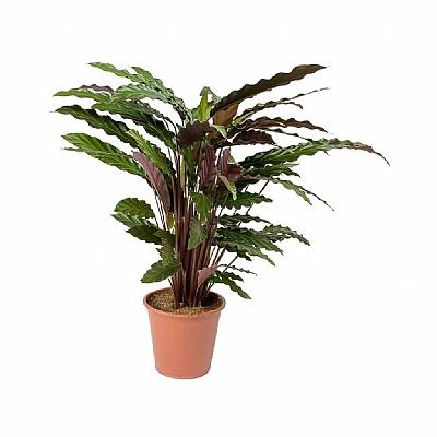 Calathea Rufibarba 50 cm