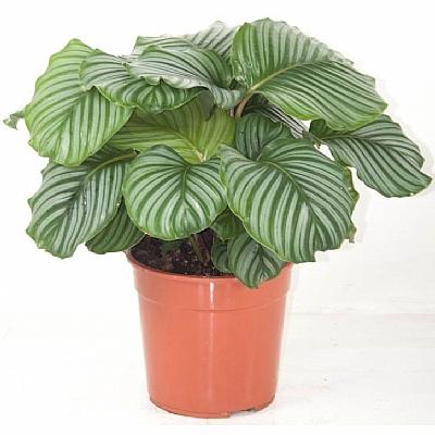 Calathea Orbifolia - 40 CM