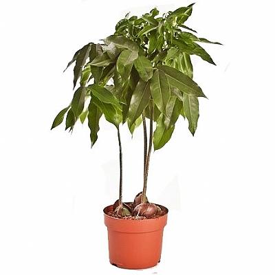 Castanospermum Australe 40 cm