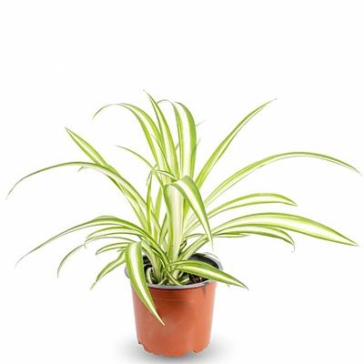 Chlorophytum Comosum Variegatu 10 cm