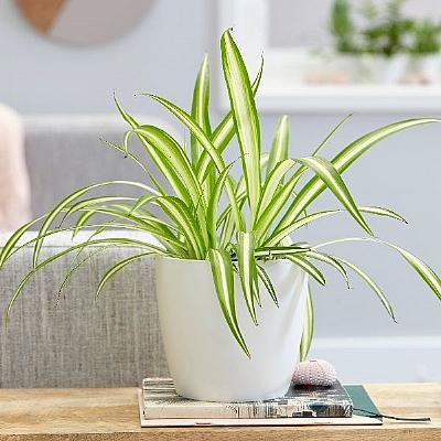 Kurdele Çiçeği Chlorophytum Comosum 20 cm