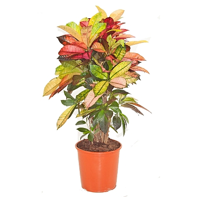 Codiaeum Variegatum Mrs Iceton - 100 cm