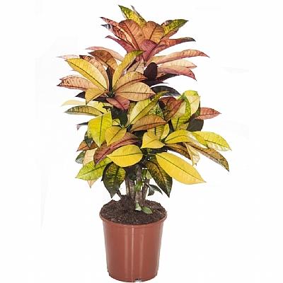 Codiaeum variegatum Mrs Iceton 50 cm