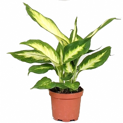 Dieffenbachia Camilla 25 cm