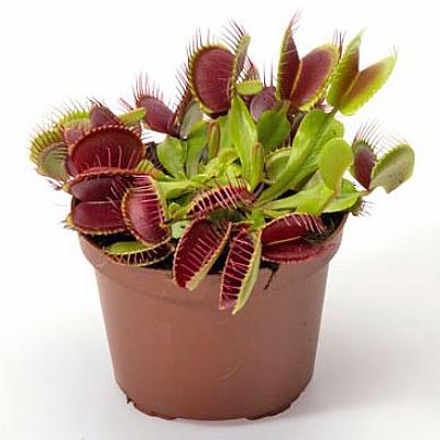 Dionaea muscipula - 15 cm