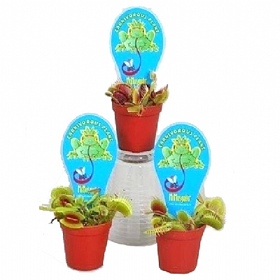 Dionaea Muscipula 10 cm