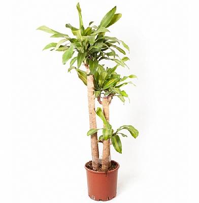 Dracaena Fragrans Massengena 3'lü 130 cm