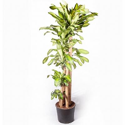 Dracaena Fragrans Massengena 5'li 180 cm