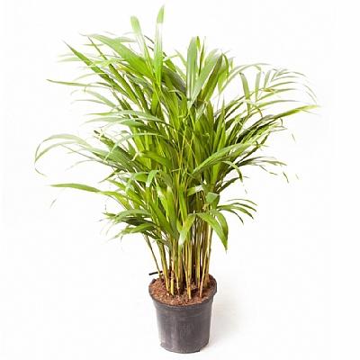 Dypsis Lutescens (Areca)| Salon Palmiyesi 70 cm
