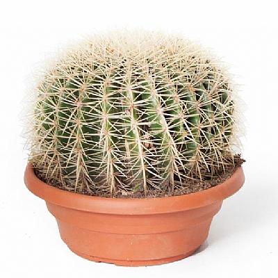 Kaktüs - Echinocactus Grusonii  25 cm