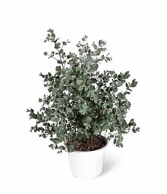 Eucalyptus Gunnii 50 cm