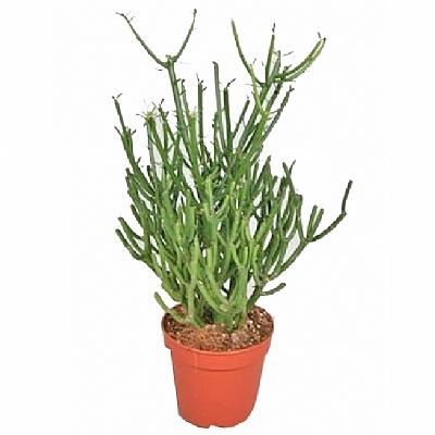 Euphorbia tirucalli 50 cm