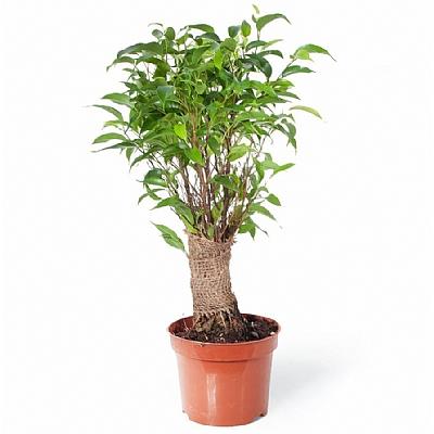 Ficus Benjamin Natasja 35 cm