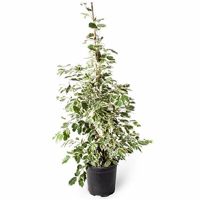 Ficus Benjamin Starlight 80 cm