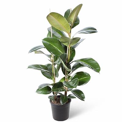 Ficus Elastica Robusta | Kauçuk Ağacı 2 Gövde