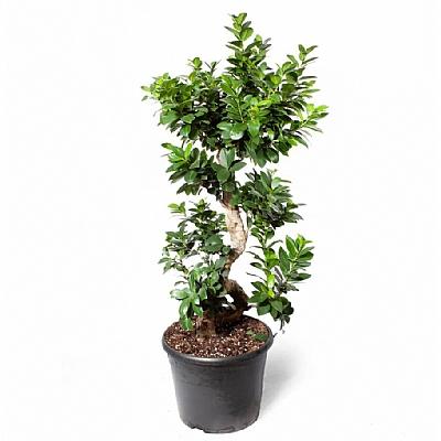 Ficus Microcarpa Gingseng 90 cm