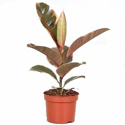 Ficus Elastica Belize 25 cm