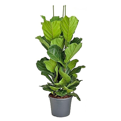 Ficus Lyrata 150 cm