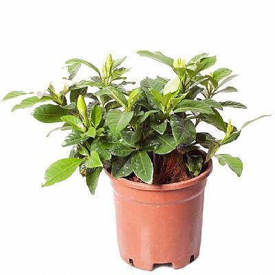 Gardenia Jasminoides (Yerli) 20 cm