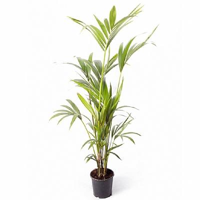 Howea Forsteriana Kentia Palmiyesi 120 cm