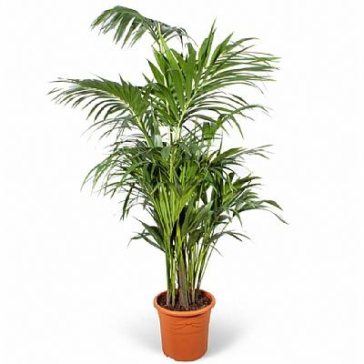 Howea Forsteriana Kentia Palmiyesi 200 cm