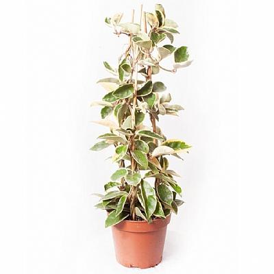 Hoya Krimson Queen 60 cm