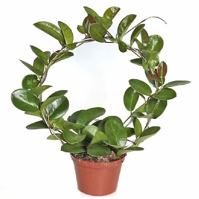 Hoya Australis 40 cm