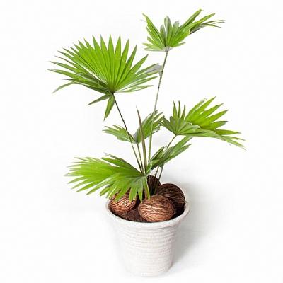 Livistona Rotundifolia Beyaz Saksı