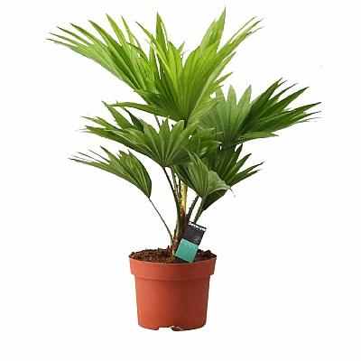 Livistona Rotundifolia 40 cm