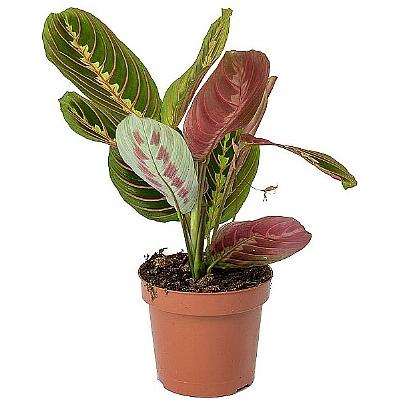Calathea Maranta Leuconeura - Dua Çiçeği 30 cm