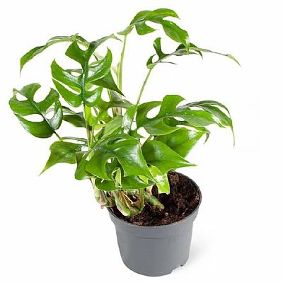 Philodendron Minima Struik
