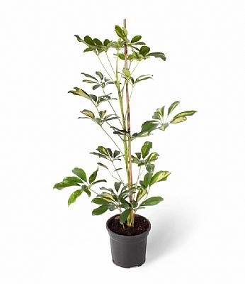 Schefflera 100 cm