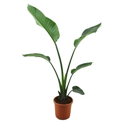 Strelitzia Starliçe 45 cm