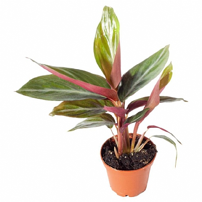Calathea Stromanthe Sanguinea 6 cm Saksi