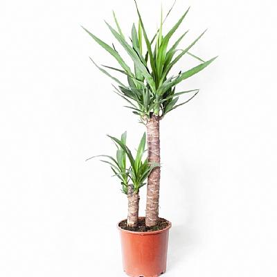 Dracaena Yucca Elephantipes 2 Kök 60 cm